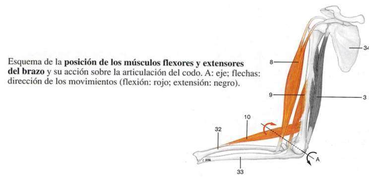 Esquema de posición de músculos flexores y extensores.